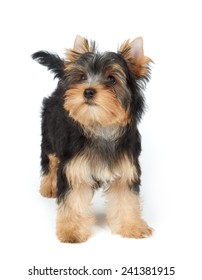 Puppy stands on the white background. Yorkshire Terrier