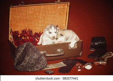Puppy surrounded traveler items. Vintage photo puppy. Siberian husky. Age 2 weeks. Dog in a suitcase, purse lying around, old banknotes, strap, flask and cigarette lighters, and other items.