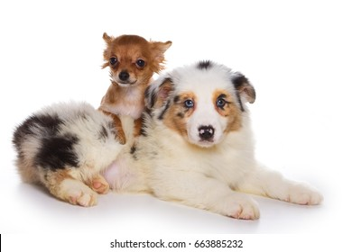 Puppy of the terrier and Australian Shepherd (isolated on white)