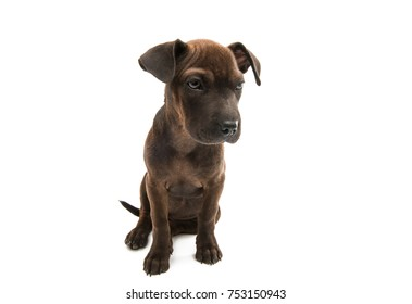 puppy terrier isolated on white background