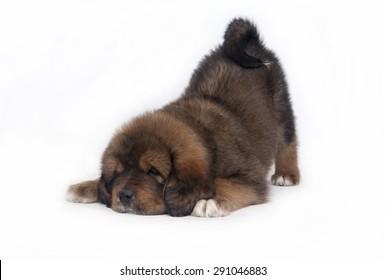 puppy Tibetan Mastiff