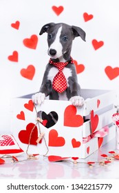 puppy whippet in Valentine`s Day greeting card