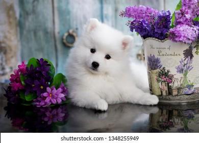 puppy white japanese spitz