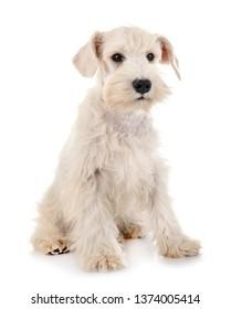 puppy white miniature schnauzer in front of white background