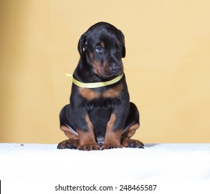 Puppy with yellow belt on yellow background