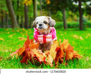 puppy with yellow and red autumn leaves outdoor in the autumn park