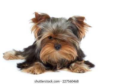 Puppy of the Yorkshire Terrier with black nose