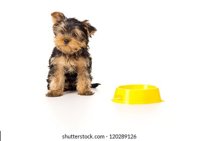 Puppy yorkshire terrier with a bowl of food on a white background