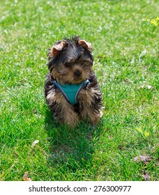 Puppy Yorkshire terrier in clothes on a green grass