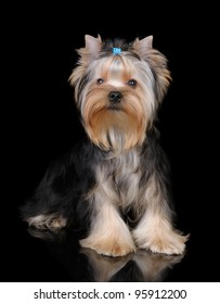 Puppy of the Yorkshire Terrier on the black reflecting background