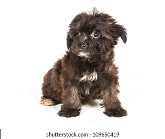 Puppy yorkshire terrier on the white background