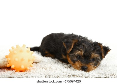 A puppy of a Yorkshire terrier on white background.