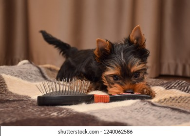 Puppy of the Yorkshire Terrier playing with a comb. Dog at home. Puppy age 2 months     Предложить исправление