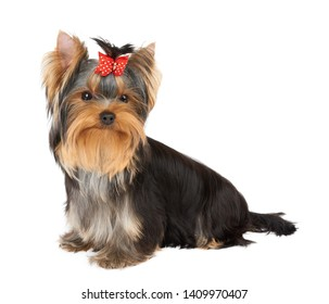 Puppy of the Yorkshire Terrier with red hair bow
