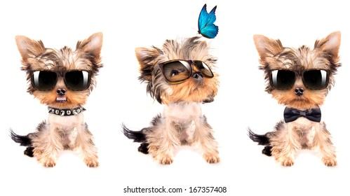 Puppy yorkshire terrier  set on the white background