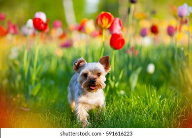 Puppy Yorkshire terrier walking in the garden with blooming tulips