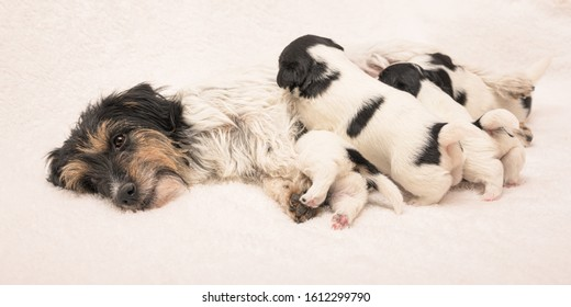 Pups 3 weeks old.  Purebred very small Jack Russell Terrier baby dogs with her mother. Newborn puppies are drinking at the bitch