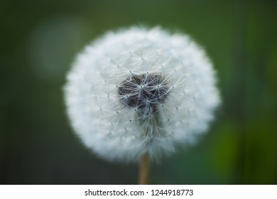 Pure beauty. Dandelion or blowball flower with seeds. Wild dandelion on summer day. Taraxacum flower on nature landscape. Summer nature. Flowering plant. Beauties of nature.