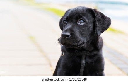 A pure bred black Labrador retriever puppy playing outside