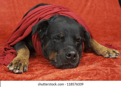 Pure bred rottweiler with christmas outfit on red background