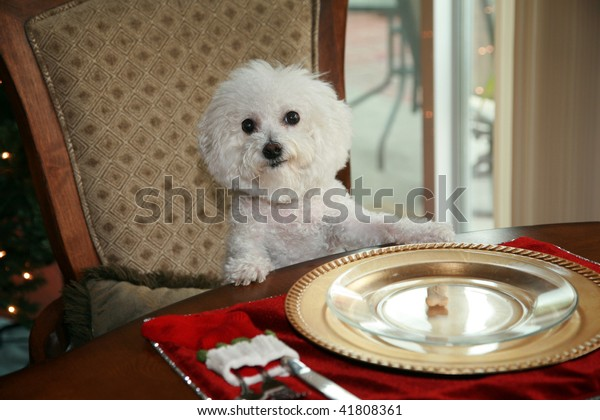 a pure breed bichon frise, sits at the dinning room table and demands her christmas dinner