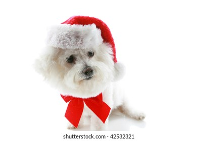 a Pure breed Bichon Frises wears a red bow and her Santa Claus Hat with room for your text isolated on white , text is easily replaced with your text