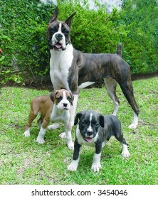 Pure breed boxer with two boxer puppies
