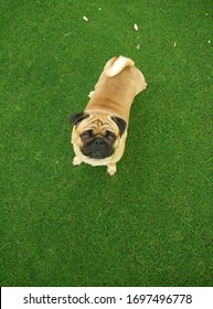 Pure breed brown Pug Pup