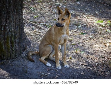Pure breed Dingo sitting by a tree in a wildlife park in Queensland, Australia.