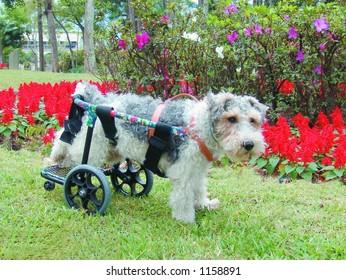 Pure breed fox terrier in a wheelchair