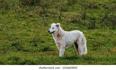 pure breed Italian Maremma shepherd dog in Lazio region