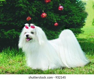 Pure breed maltese dog with Christmas decoration
