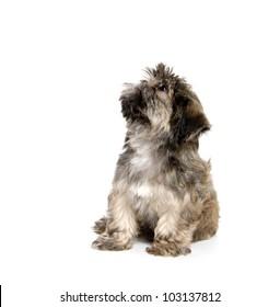 pure breed Shih Tzu puppy on white background