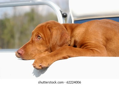 A pure breed Vizsla laying down in a boat