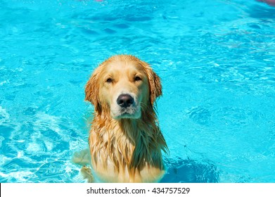 Golden Retriever Swimming Pool Images Stock Photos Vectors Shutterstock