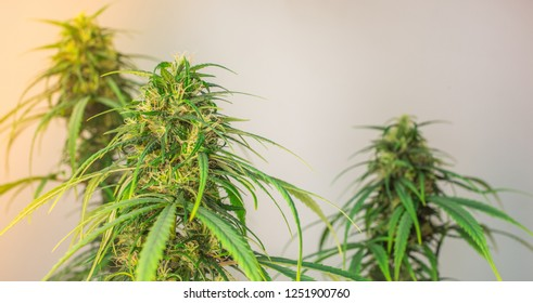 Pure medicinal cannabis sativa with white background