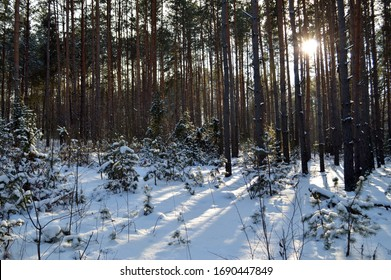 Pure snowy forest, met the sunset, quiet nature beckons for a long walk, calm and beautiful around