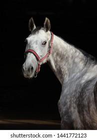 Pure Spanish Horse or PRE,dapple gray mare portrait against  dark background