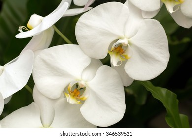 Pure white Moth orchids blooming(Phalaenopsis sp.)