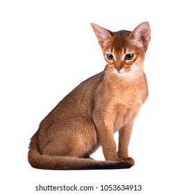Purebred abyssinian cat isolated on white background. Cute playful kitten isolated