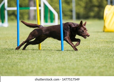 Purebred active chocolate brown Australian kelpie sheepdog running dog agility course with full attention . Fast working winner champion on outside agility competition on summer time