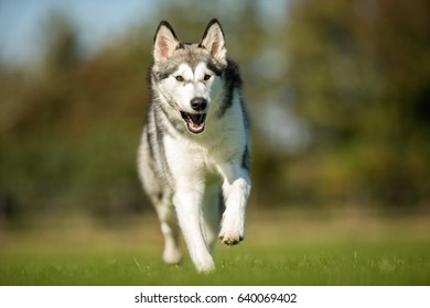 Purebred adult Alaskan Malamute dog outdoors in the nature on a sunny day during late spring and early summer.