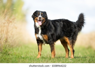 Purebred adult Berner Sennehund dog outdoors in the nature on a sunny day during late spring and early summer.