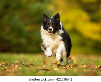 Purebred adult dog outdoors in the forest on a cloudy day during autumn..