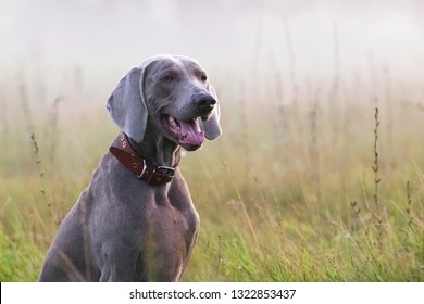 Purebred adult dog outdoors in the nature on a sunny day   in the summer.