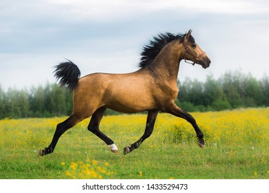 Purebred Andalusian horse run trot in a blooming summer meadow with yellow flowers