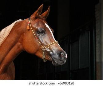 Purebred Arabian Horse, portrait of a bay mare with jewelry bridle in dark background
