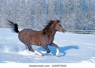 Purebred Arabian, two year old,  galloping  in fresh snow