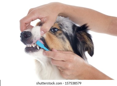 purebred australian shepherd  and toothbrush in front of white background