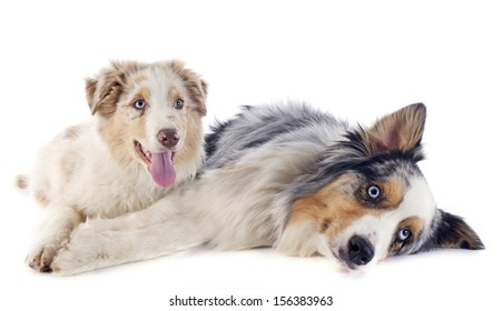 purebred australian shepherds  in front of white background